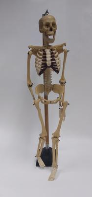 Anatomical model of human skeleton with mounted stand
